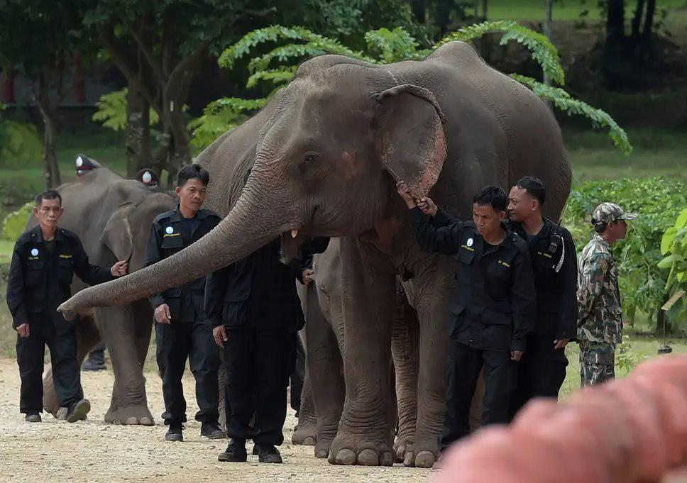 Woman Killed In Wild Elephants Attack In Thailand